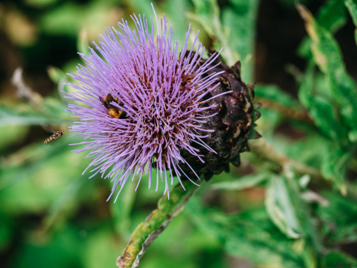Insects on a thistle in the gardens at Shugborough hall